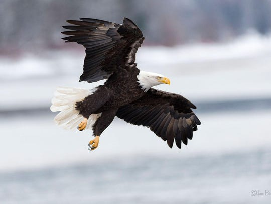 This bald eagle is in flight in northeastern Pennsylvania