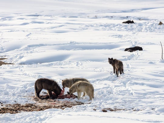 The Wapiti Lake Pack on a bison kill in Yellowstone National Park. It's possible to see wolves in the Lamar Valley at this time of year as well.