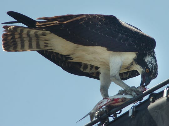 This osprey on Woodland Beach Road east of Smyrna eats a fish he just caught.