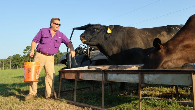 Caddo Parish rancher Marty Wooldridge tends to a 500-head herd.