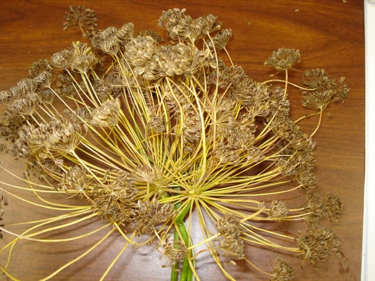 Save fennel seeds by clipping seed heads from the fennel