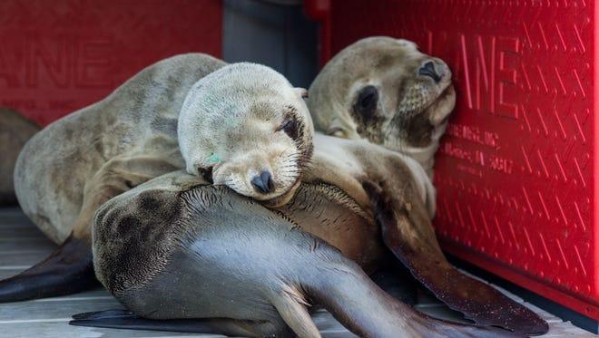 Sea lions at the California Wildlife Center.