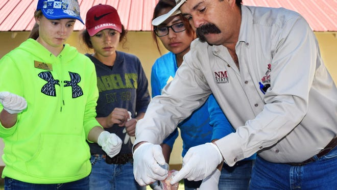 Steve Lucero, NMSU Extension Sandoval County director, shows campers the reproductive organs of a cow during New Mexico Youth Ranch Camp all things beef day. The campers have hands-on learning during much of the four-day curriculum that includes all things beef, marketing and economics, natural resources and range land management.