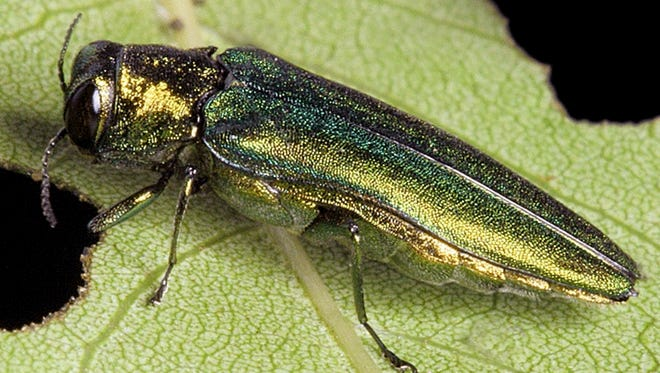 The emerald ash borer, an invasive species that Vermont officials disclosed Tuesday, Feb. 27, 2018, was found in the state, is seen in this 2010 file photo by David Cappaert, www.forestryimages.org.