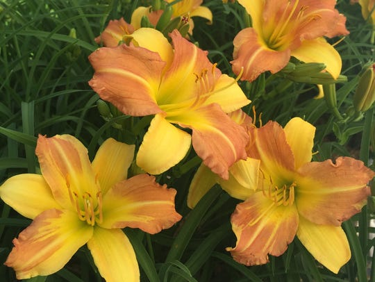 Yellow Punch daylily