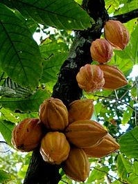 Mature pods grow in clusters on a cacao tree.
