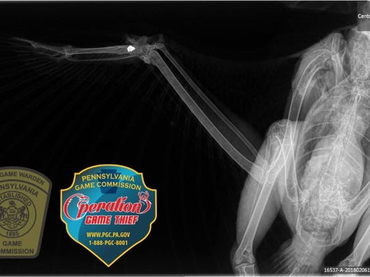 A xray shows where a small caliber slug in the wing of a red-tailed hawk shot near Raystown Lake in January 2018.
