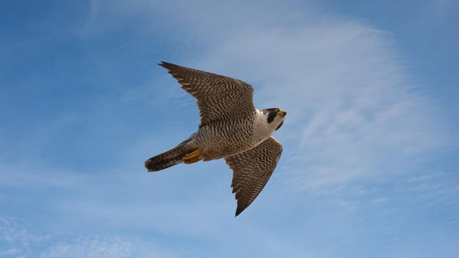 Peregrine falcons have long, pointed wings that help them fly quickly and powerfully in pursuit of their aerial prey.