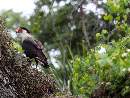 A Crested Caracara makes off with the remains of it's