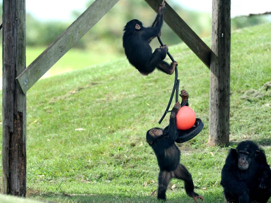 A pair of young chimpanzees play on a swing attached