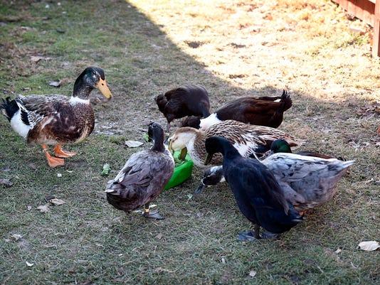 LDN-MKD-121917-ducks
