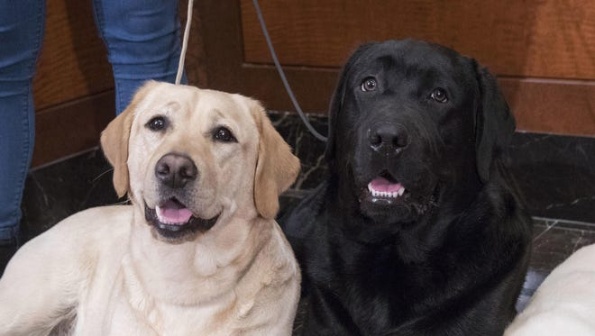 Labrador retrievers Soave, 2, left, and Hola, 10-months, pose for photographs as Harbor, 8-weeks, takes a nap during a news conference at the American Kennel Club headquarters in New York.