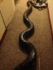 "A 20-foot python named SS Wraps escaped from its cage on Thursday, May 18. ""SS"" stands for Super Snake."
