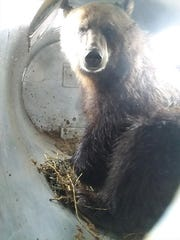This bear was captured on the outskirts of Choteau