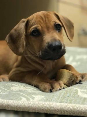Kylo is 9 weeks old and was rescued from Puerto Rico.