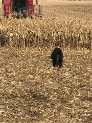 A black bear was spotted Tuesday, Nov. 7, 2017 near Schley, Ia., which is about 3 hours north of Des Moines.