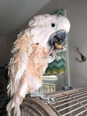Chicken, a Moluccan cockatoo, is one of the birds at Birds and Beaks Rescue and Rehab. He survived the January incident.