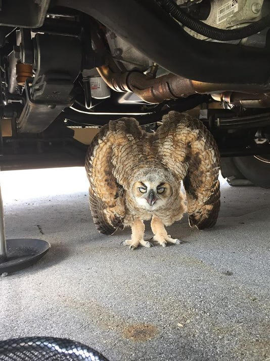 The baby great horned owl