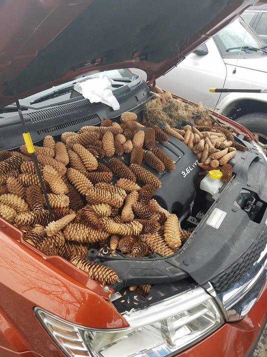Pine cones, squirrels