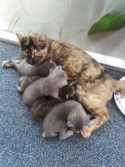 Marina with her family of kittens, Coral, Skipper, Minnow, Gilligan and Catalina.