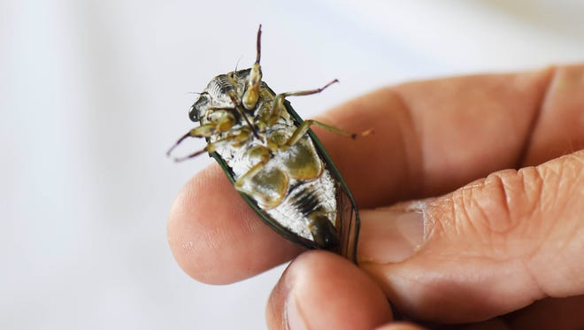 """Ryan """"The Bug Man"""" Bridge, holds a live cicada on its back. The yellow-green circles near the mid-section are the noise-makers - tymbals that vibrate and flex to make the cicada mating call."""