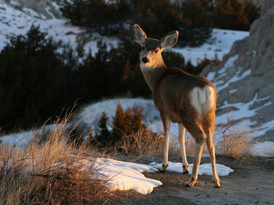 Mule Deer in Badlands National Park taken in January 2010.Photo: Lee McDowell, NPS