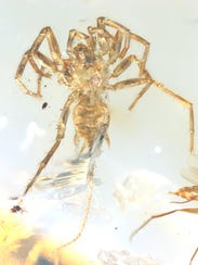 "This specimen of a 100-million-year-old ""proto-spider"""