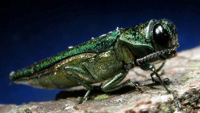 The emerald ash borer.