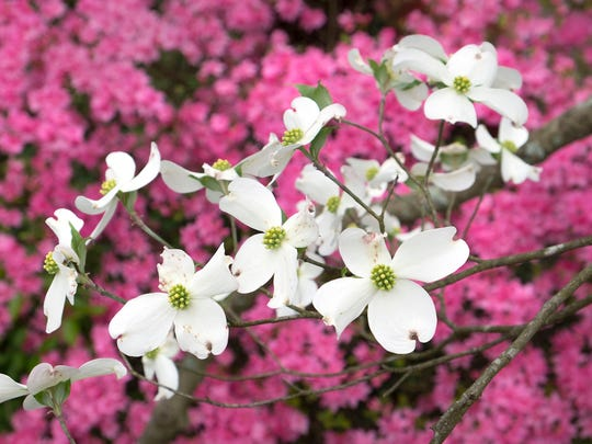 Dogwood and azalea blossoms add color to a rainy day Monday, April 16, 2018, in Island Home Park. The neighborhood, which hosts a Dogwood Arts Festival Trail, is the location of the Knox County champion white dogwood tree according to the Festival website. Photo submitted by Paul Efird.