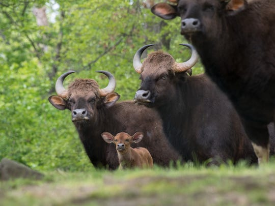 Gaur (Bos gaurus) are the world's largest species of