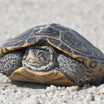 The shells of diamondback terrapins vary greatly from brownish or greenish to grayish or nearly black.