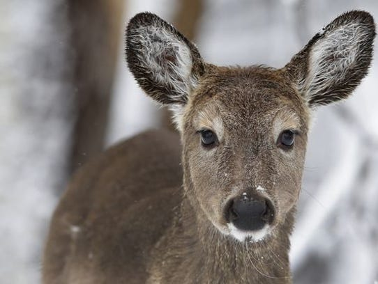 This was not the deer involved in the Jan. 2, 2015,