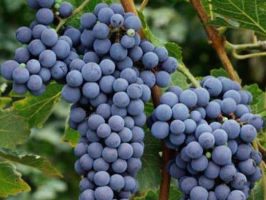 Cabernet Sauvignon grapes on the vine in Washington