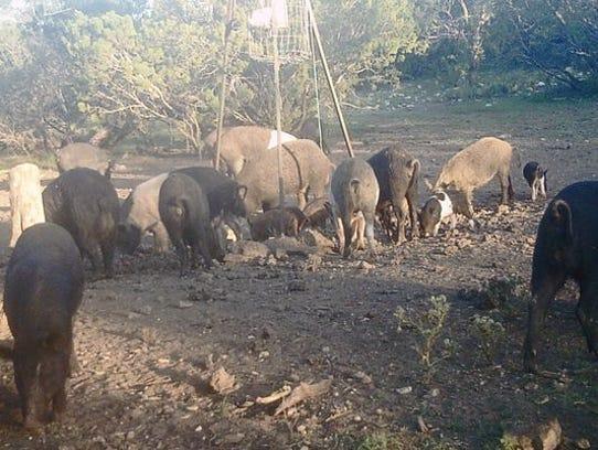 Wild hogs eat corn below a wildlife feeder in Coke