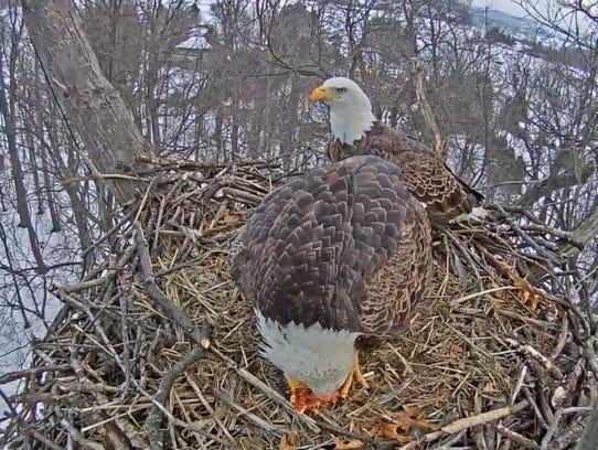 A Hanover eagle eats breakfast Jan. 29 in its Heidelberg