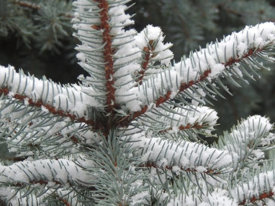 WINTER CONIFERS 1