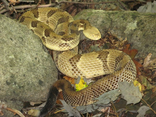 -Timber Rattlesnake Fishkill Ridge.JPG_20140423.jpg