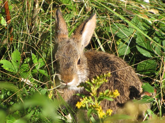 There goes peter cottontail reprieve sought for species for Maine fish wildlife
