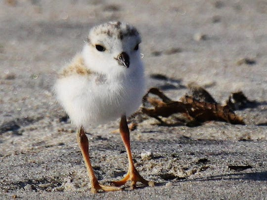 Piping plover chick shortly after it hatched.