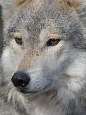 Mexican-Wolf-2014-Marie-Kraus-(Chico)