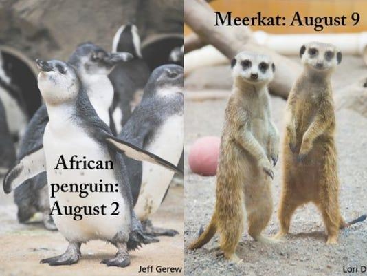 Meerkat bday