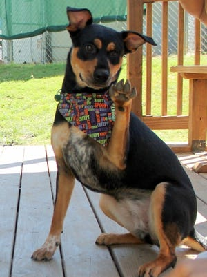 Trixie, a possible Australian cattle dog/Rottweiler mix, knows quite a few commands.