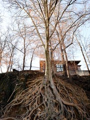 GAN BEECH ROOT TREE 031614 2