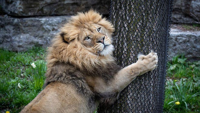 Roary, a 4-year-old African lion, arrived recently at the Columbus Zoo and Aquarium from the Buffalo Zoo.