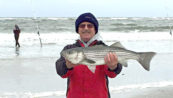 """John Berchtold picked up this 31"""" striper off the north end of Brigantine Beach. 11/30/15."""