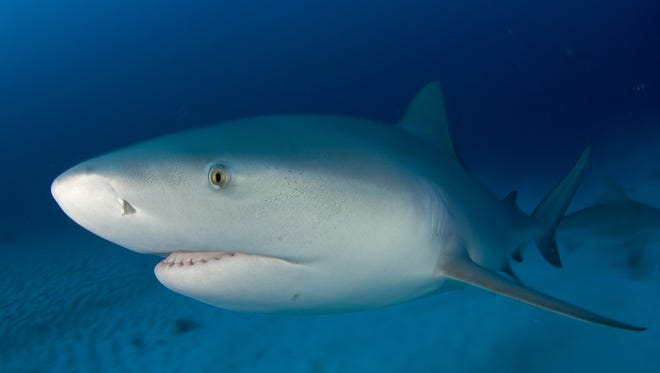 Scientists Carl Luer and Cathy Walsh of Mote Marine Laboratory in Sarasota believe after decades of research that sharks, along with rays and skates, could represent life nevertheless by leading us in the right direction in the fight against cancer.