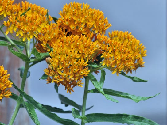 Butterfly weed is among the flowers in bloom at Sibley