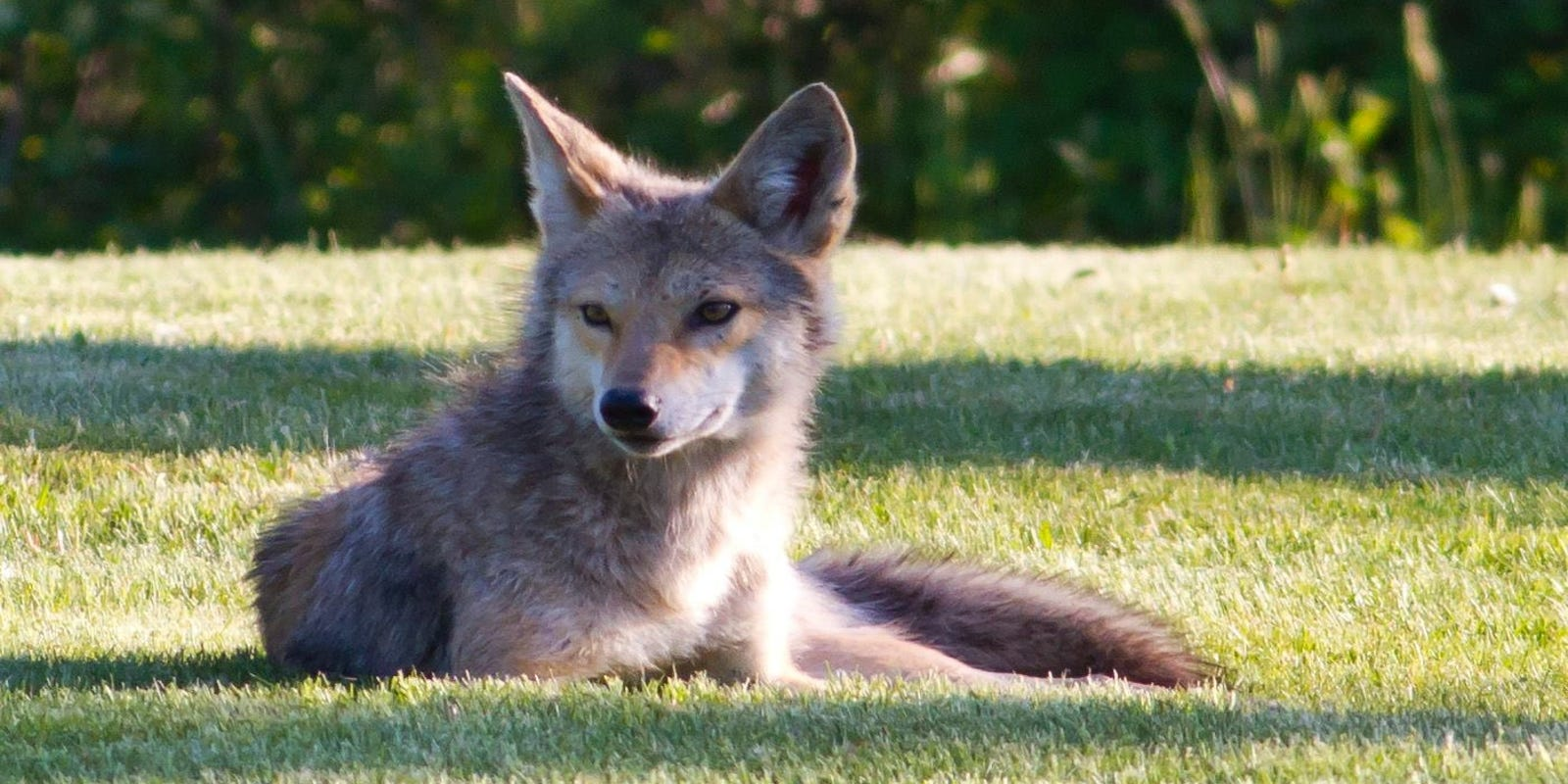Coyotes in suburbs worry residents but pose little threat