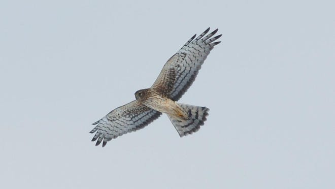 Harriers nest in the ground and rely on grasses and other vegetation to conceal their nests.