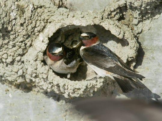 Cliff swallows.jpg